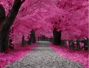 Cerisiers-en-fleurs-Tokyo-Japon